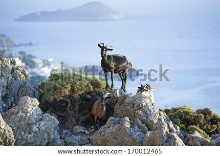 Curious goats. Goats typical for Mediterranean sea region with sea and island in the background. Picture taken on Greek island Kalymnos, known for its climbing resort. - stock photo