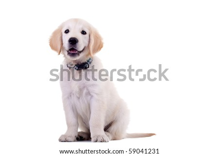 curious golden labrador retriever puppy standing on a white background - stock photo