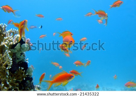 Curious goldfishes of the Red sea - stock photo