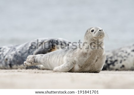 Curious gray seal on the beach of isle dune, Helgoland, Germany