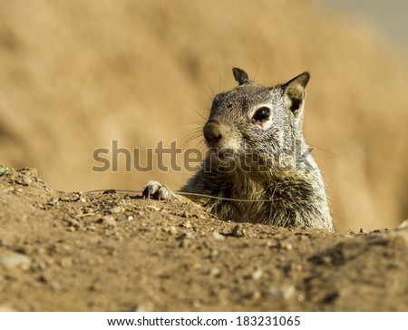 Curious grey squirrel peeking out of the ground