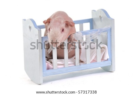 Curious Guinea Pig in a baby cot - stock photo