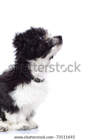 """puppy_looking_up"""" Stock Photos, Royalty-Free Images & Vectors ..."""