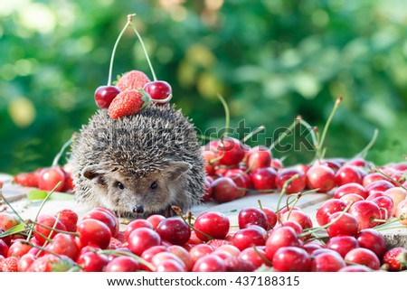 curious hedgehog, Atelerix albiventris,among the berry on green leaves background. Selective Focus. small DoF focus - stock photo