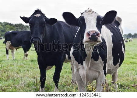 Curious Holstein cows