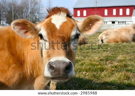 Curious jersey cow on a farm - stock photo