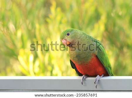 Curious King Parrot - stock photo