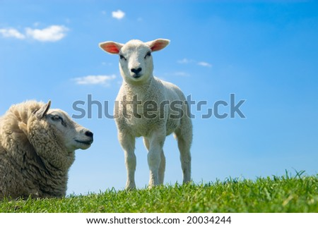 curious lamb looking at the camera in spring - stock photo
