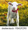 Curious lamb portrait - stock photo
