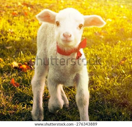 Curious lamb portrait - stock photo