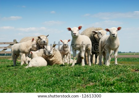 curious lambs and mother sheep looking at the camera in spring - stock photo