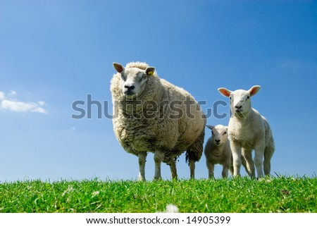 curious lambs and sheep looking at the camera in spring