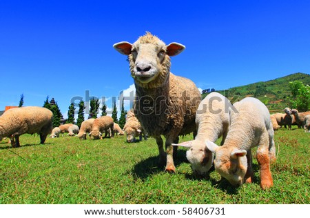 Curious lambs looking at the camera - stock photo