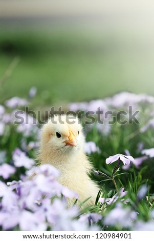 Curious little chick peeking above a bed of lavendar colored spring flowers. - stock photo