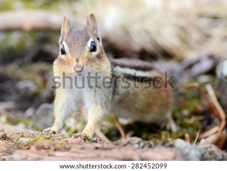 Curious little juvenile chipmunk  - stock photo