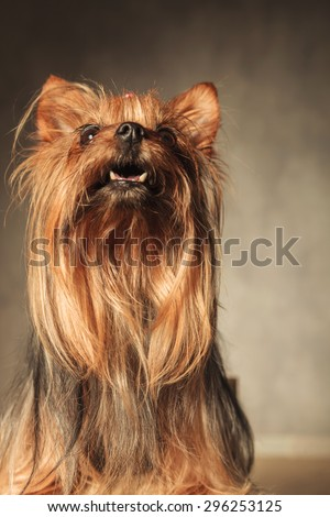 curious little yorkshire terrier puppy dog looking at something up with mouth open in studio - stock photo