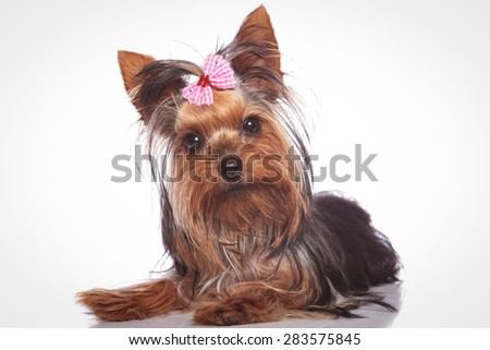 curious little yorkshire terrier puppy dog lying down and looking at the camera - stock photo