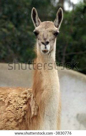 Curious Llama - stock photo