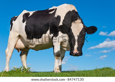 Curious looking black spotted cow on a Dutch dike against a blue sky - stock photo