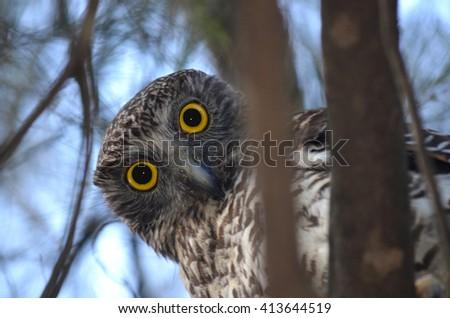 Curious looking Powerful Owl,, Sydney, Australia - stock photo