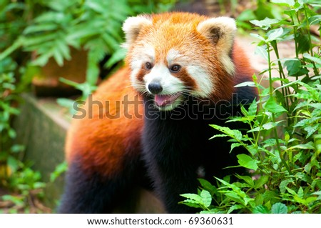 Curious looking red panda bear - stock photo