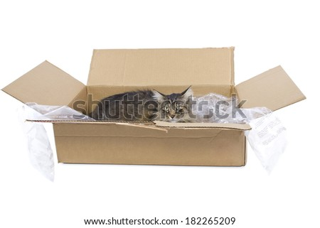 curious Maine Coon cat in a shipping box - stock photo