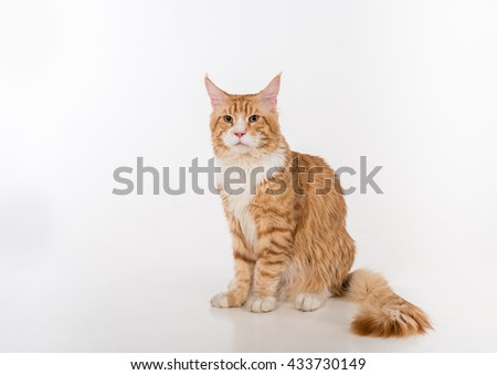 Curious Maine Coon Cat Sitting on the White Table with Reflection. White Background.