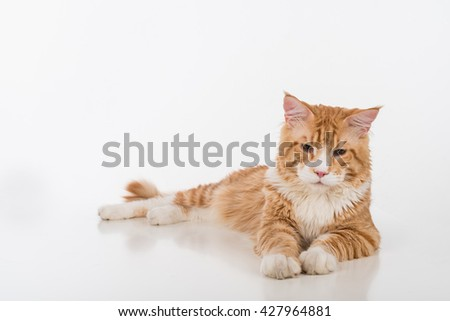 Curious Maine Coon Cat Sitting on the White Table with Reflection. White Background. Looking Down.