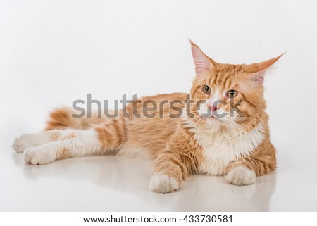 Curious Maine Coon Cat Sitting on the White Table with Reflection. White Background. Looking Left.
