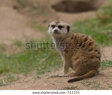 Curious Meerkat - stock photo