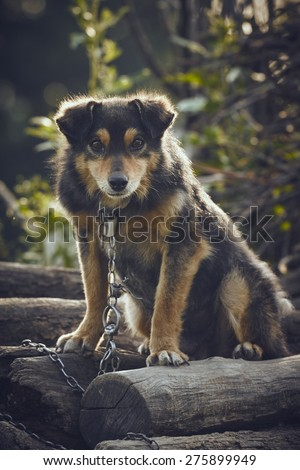 Curious miserable dog chained on a pile of wood in the backyard. - stock photo