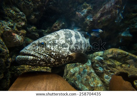 Curious nassau grouper in the sea - stock photo