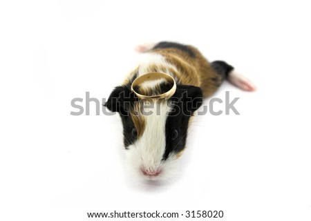 Curious newborn guinea pig with gold ring