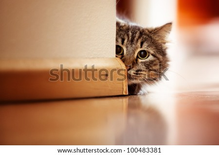 Curious Norwegian Forest Cat looking around the corner of a wall - stock photo