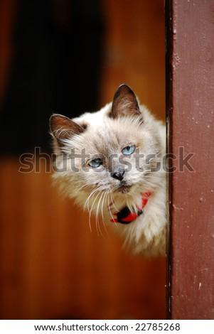Curious Old Cat - stock photo
