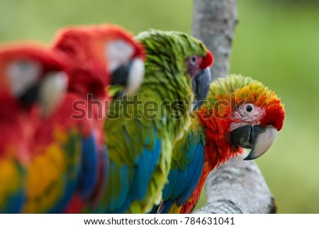 Curious parrot, staring directly at camera from row of Ara parrots. Scarlet Macaw and Great green macaw, portrait of four red and green, colorful amazonian parrots in a row, focused on last. Wildlife.
