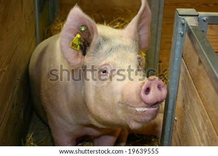 Curious pig in the pen - stock photo