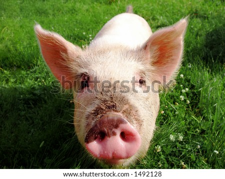 Curious pig on green grass - stock photo