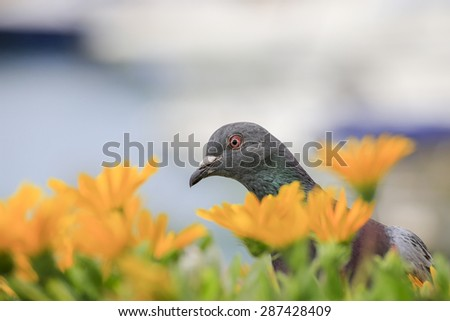 Curious pigeon surrounded by flowers  - stock photo