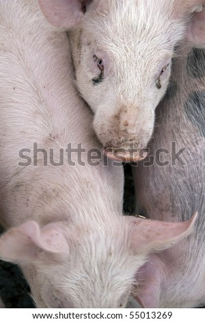 curious pigs on an eco farm waiting for food - stock photo