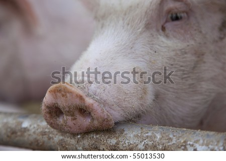 curious pigs on an eco farm waiting for food, focus on nose - stock photo