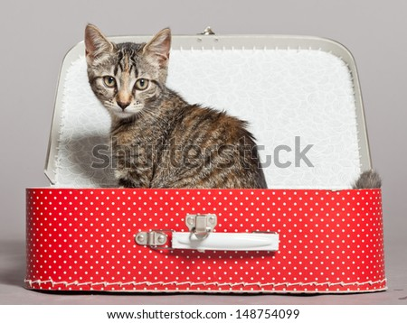 Curious playful funny tabby kitten in red little suitcase. Studio shot against grey. - stock photo