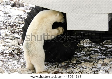 Curious polar bear looking at a tire on a tundra buggy - stock photo