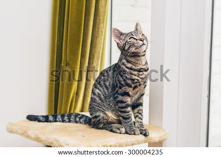 Curious pretty striped grey tabby cat sitting on top of its scratching post near a window and gold curtain looking up into the air - stock photo