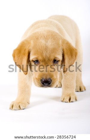 curious Puppy Labrador retriever cream on white background