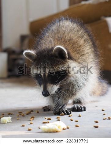 Curious Raccoon - stock photo