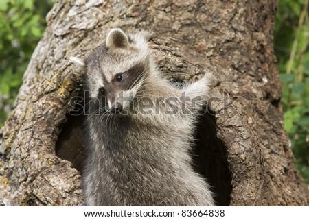 Curious Racoon - stock photo