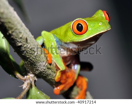 curious red eyed or gaudy green tree frog on branch, guatemala