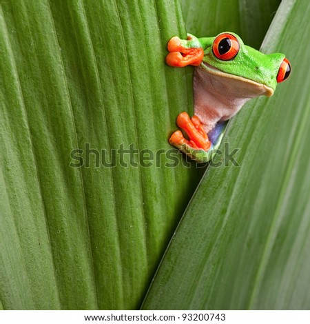 curious red eyed tree frog hiding in green background leafs Agalychnis callydrias exotic amphibian macro treefrog copyspace animal looking in tropical jungle Costa Rica vivid Panama or terrarium - stock photo