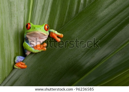 curious red eyed tree frog hiding in green background leafs Agalychnis callydrias exotic amphibian macro treefrog  Costa Rica rain forest animal copyspace - stock photo